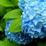 紫陽花のプリザーブドフラワーを作ろう!詳しい作り方を解説