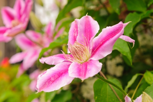 クレマチスの特徴と花を咲かせるためのポイントとは