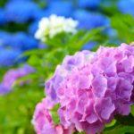 紫陽花は手入れが必須!大事な作業と紫陽花の特徴とは