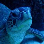 世界で愛されるウミガメの基本情報