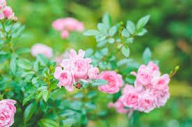 ミニバラの花がら摘みと剪定