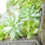 多肉植物リトープスと七福神を育てる際のポイント