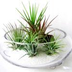 土なしで育てられるエアプランツチランジアの育て方と飾り方6選