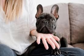 フレンチブルドッグにとって多頭飼いは幸せ?多頭飼いのメリットとデメリット