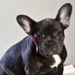 フレンチブルドッグの耳が垂れているリスクと垂れ耳の病気5つ