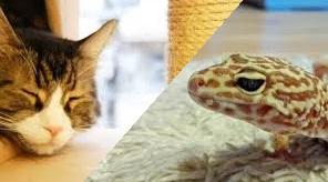ヒョウモントカゲモドキと猫は一緒に飼える?同居させる際の注意点と知っておくべきこと