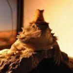 フトヒゲアゴトカゲは夜行性?生態と飼い方の重要ポイント